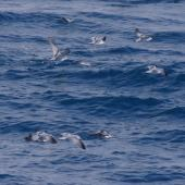 Fairy prion. Feeding flock. Off Brothers Islands, Cook Strait, October 2019. Image © Colin Miskelly by Colin Miskelly