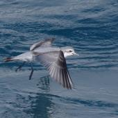 Fairy prion. Adult in flight. Off Brothers Islands, Cook Strait, October 2019. Image © Colin Miskelly by Colin Miskelly