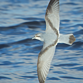 Fairy prion. Adult in flight, dorsal. Whangaroa pelagic chum spot, June 2014. Image © Les Feasey by Les Feasey