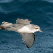 Fairy prion. In flight. Off Poor Knights Islands at sea, July 2018. Image © Les Feasey by Les Feasey