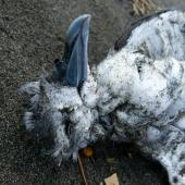 Fairy prion. Head of dead bird on beach. Raglan, July 2011. Image © Joke Baars by Joke Baars