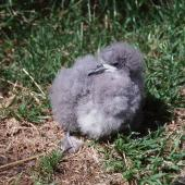 Fairy prion. Large chick. Stephens Island, January 2002. Image © Colin Miskelly by Colin Miskelly