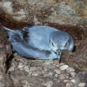 Fairy prion. Adult on nest in cave. North East Island, Snares Islands, November 1987. Image © Colin Miskelly by Colin Miskelly