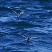 Fairy prion. Adults feeding at surface. Kaikoura pelagic, January 2013. Image © Colin Miskelly by Colin Miskelly