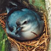 Fulmar prion. Adult 'pyramidalis' subspecies on nest. The Pyramid, Chatham Islands. Image © Christopher Robertson by Christopher Robertson