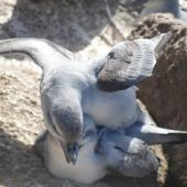 Fulmar prion. Copulating pair. Proclamation Island, Bounties, October 2013. Image © Matt Charteris by Matt Charteris