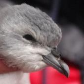 Fulmar prion. Lesser fulmar prion fledgling. Ewing Island, Auckland Islands, January 2018. Image © Colin Miskelly by Colin Miskelly