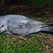 Fulmar prion. Lesser fulmar prion fledgling. Disappointment Island, Auckland Islands, January 2018. Image © Colin Miskelly by Colin Miskelly