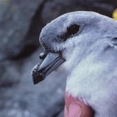 Fulmar prion. Close view of adult 'pyramidalis' subspecies. The Pyramid, Chatham Islands, December 1987. Image © Alan Tennyson by Alan Tennyson Alan Tennyson