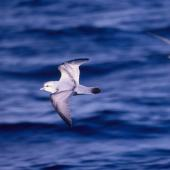 Fulmar prion. Adult in flight (crassirostris subspecies?). At sea 48 41'S 175 29'E, October 1995. Image © Alan Tennyson by Alan Tennyson Alan Tennyson