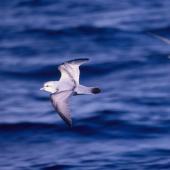 Fulmar prion. Adult in flight (crassirostris subspecies?). At sea 48 41'S 175 29'E, October 1995. Image © Alan Tennyson by Alan Tennyson