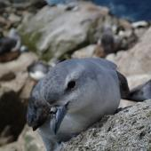 Fulmar prion. Adult. Proclamation Island, Bounty Islands, October 2013. Image © Paul Sagar by Paul Sagar