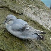 Fulmar prion. Adult. Bounty Islands, October 2012. Image © Paul Sagar by Paul Sagar