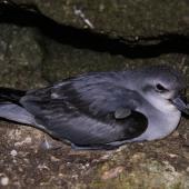 Fulmar prion. Adult 'pyramidalis' subspecies on nest. Forty Fours,  Chatham Islands, December 2009. Image © Mark Fraser by Mark Fraser