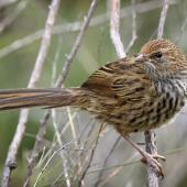 Fernbird. Juvenile South Island fernbird. Mangarakau wetlands, Golden Bay, December 2016. Image © Rob Lynch by Rob Lynch