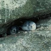 Fulmar prion. Adult pair at nest. Bounty Islands. Image © Department of Conservation (image ref: 10031693) by Murray Williams, Department of Conservation Courtesy of Department of Conservation