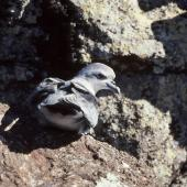 Fulmar prion. Adult. Rima Islet, Western Chain, Snares Islands, February 1984. Image © Colin Miskelly by Colin Miskelly