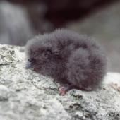 Fulmar prion. Chick. Toru Islet, Western Chain, Snares Islands, December 1984. Image © Colin Miskelly by Colin Miskelly