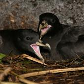White-chinned petrel. Pair in cave. Antipodes Island, January 2008. Image © David Boyle by David Boyle