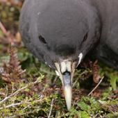 White-chinned petrel. Close view of head. Antipodes Island, December 2009. Image © David Boyle by David Boyle