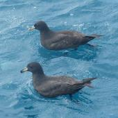 White-chinned petrel. Adult with Westland petrel in foreground. Cook Strait, April 2016. Image © Alan Tennyson by Alan Tennyson