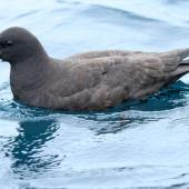 White-chinned petrel. Side view of adult on water. Kaikoura pelagic, October 2008. Image © Duncan Watson by Duncan Watson