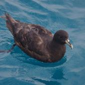 White-chinned petrel. Adult. Cook Strait, April 2016. Image © Colin Miskelly by Colin Miskelly