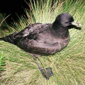 White-chinned petrel. Adult at breeding colony. Reef Point, Antipodes Island, November 1995. Image © Alan Tennyson by Alan Tennyson Alan Tennyson