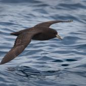 White-chinned petrel. Side view of adult in flight at sea. At sea off Otago Peninsula, March 2011. Image © Craig McKenzie by Craig McKenzie Craig McKenzie