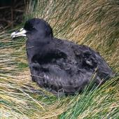 White-chinned petrel. Adult at breeding colony. Antipodes Island, October 1996. Image © Terry Greene by Terry Greene