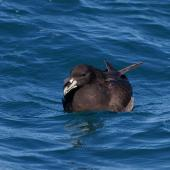 White-chinned petrel. Adult on water. Kaikoura pelagic, January 2013. Image © Colin Miskelly by Colin Miskelly