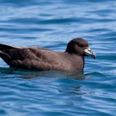 Westland petrel. Adult on the water showing tail projection. Kaikoura pelagic, November 2011. Image © Sonja Ross by Sonja Ross