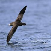 Westland petrel. Adult shearing water with wingtip. Cook Strait, April 2017. Image © Phil Battley by Phil Battley