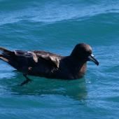 Westland petrel. Adult on water. Kaikoura pelagic, January 2013. Image © Colin Miskelly by Colin Miskelly