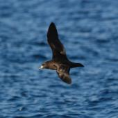 Black petrel. Adult in flight, dorsal. Pacific Ocean, March 2009. Image © Nigel Voaden by Nigel Voaden http://www.flickr.com/photos/nvoaden/
