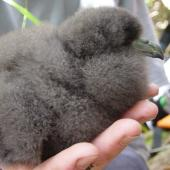 Black petrel. Chick in the hand. Great Barrier Island, January 2006. Image © Mark Fraser by Mark Fraser