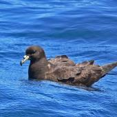 Black petrel. Side view of adult on water. Hauraki Gulf, March 2010. Image © Peter Frost by Peter Frost