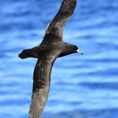 Black petrel. Adult in flight. At sea on route to Kermadec Islands, March 2021. Image © Scott Brooks (ourspot) by Scott Brooks