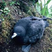 Black petrel. Chick ready to fledge. Near The Thumb, Little Barrier Island, May 1988. Image © Alan Tennyson by Alan Tennyson
