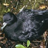 Black petrel. Chick ready to fledge. Little Barrier Island, May 1988. Image © Alan Tennyson by Alan Tennyson