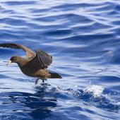Black petrel. Adult taking off from water. Mokohinau Islands. Image © Dylan van Winkel by Dylan van Winkel