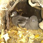 Black petrel. Adult and young chick in burrow. Great Barrier Island, January 2019. Image © George Hobson  by George Hobson