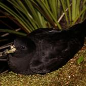 Black petrel. Adult on the ground at night. Great Barrier Island, February 2010. Image © Mark Fraser by Mark Fraser