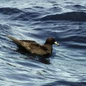 Black petrel. Adult on water. Outer Hauraki Gulf, October 2004. Image © Colin Miskelly by Colin Miskelly
