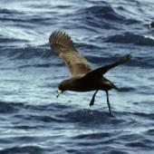 Black petrel. Adult about to land on sea. Outer Hauraki Gulf, October 2004. Image © Colin Miskelly by Colin Miskelly