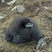 Black petrel. Chick. Little Barrier Island, February 1974. Image © Department of Conservation (image ref: 10044831) by John Kendrick, Department of Conservation Courtesy of Department of Conservation