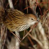 Fernbird. North Island fernbird. Rangitaiki Conservation Area, Bay of Plenty, May 2006. Image © Neil Fitzgerald by Neil Fitzgerald Neil Fitzgerald: www.neilfitzgeraldphoto.co.nz