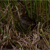 Fernbird. Adult Codfish Island fernbird leaving nest. Whenua Hou / Codfish Island, December 2011. Image © Colin Miskelly by Colin Miskelly