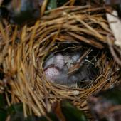 Fernbird. Codfish Island fernbird nest with eggs. Whenua Hou / Codfish Island, December 2011. Image © Colin Miskelly by Colin Miskelly