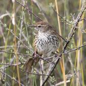 Fernbird. Adult North Island fernbird. Otangaroa Road, Whangaroa Harbour, March 2012. Image © Detlef Davies by Detlef Davies